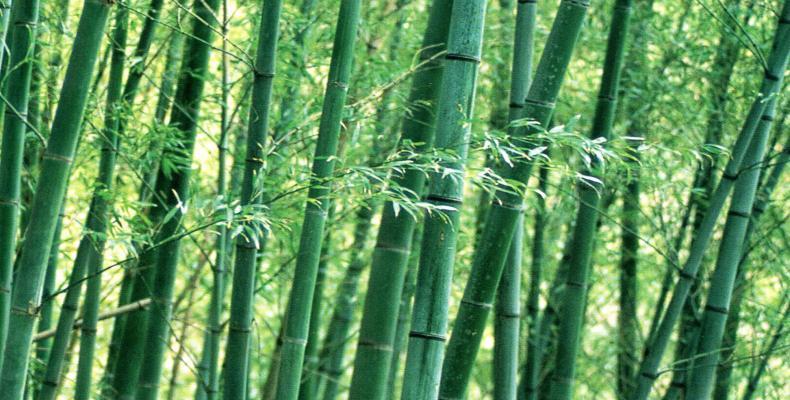La planta del bambú tiene casi mil 500 utilidades.Imágen:Internet.