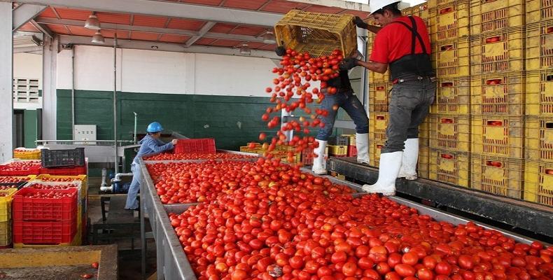 Ciego de Ávila con altas producciones de tomate.Foto:RReloj.