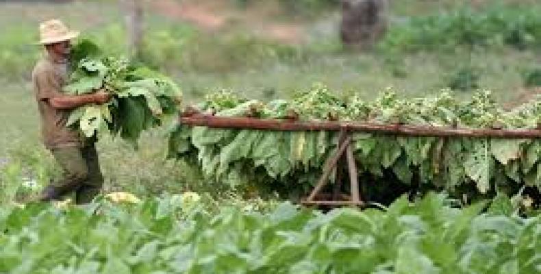 En Sancti Spíritus se plantaron más de 3 mil 400 hectáreas de tabaco, de ellas 380 en áreas tapadas.Foto:Archivo.