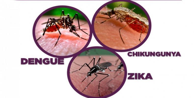 El Aedes aegipty, agente transmisor de esos virus, todavía representa una amenaza para la salud pública en el Caribe. Fotos: Archivo