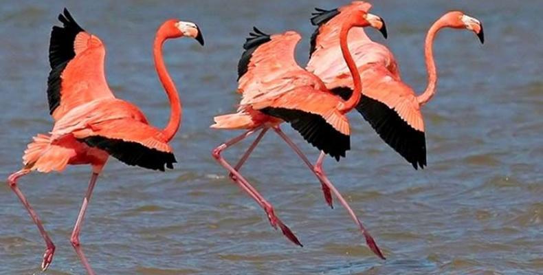 La Reserva de Fauna Desembocadura del Río Máximo en Camagüey es espacio preferido por los flamencos rosados.Foto:PL.