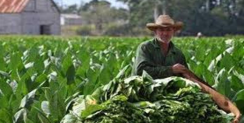 La jornada por el Día del Trabajador Tabacalero se desarrollará del 20 al 29 del presente mes.Foto:Archivo.