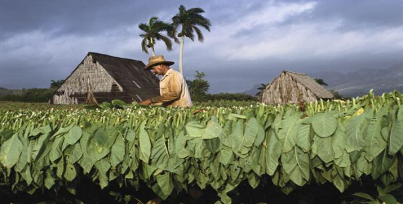 Tabaco ensartado. Foto: Archivo