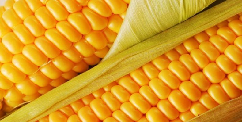La variedad plantada se caracteriza por su elevada calidad genética.Foto:Internet.