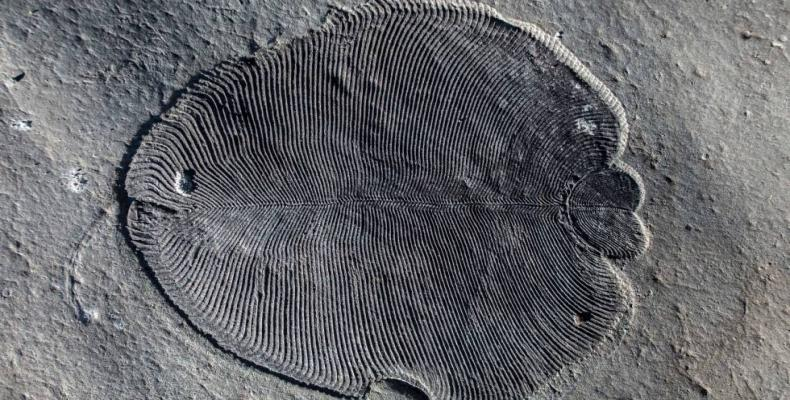 Con el análisis de las moléculas de la grasa del Dickinsonia se confirma que éste es el animal más antiguo del planeta. Foto/ El País