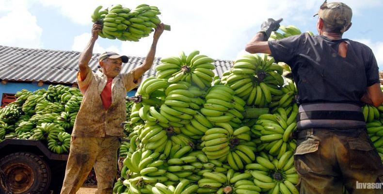 La provincia cubana Ciego de Ávila consolida la producción de plátanos para consumo en el país y la exportación.Foto:Invasor.