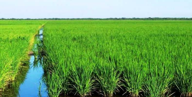Los espirituanos cerraron la campaña del pasado año con rendimientos de 5,56 toneladas de arroz húmedo por hectárea, uno de los más altos de Cuba. Foto: Archivo