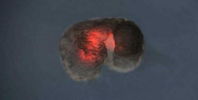 Los xenobots lucen como microscópicos trozos de carne rosa.Foto:La Voz.